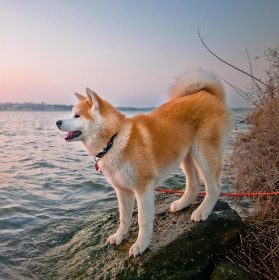 акита-ину, собака, клички, порода