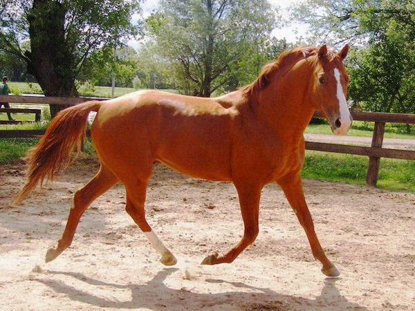 Буденновская лошадь фото