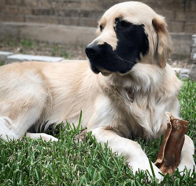 ретривер, пес, морда пса, пятно на морде собаки