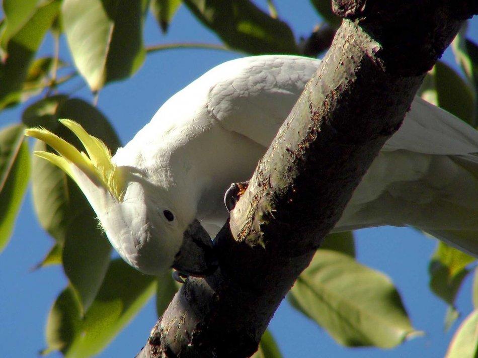 Малый желтохохлый какаду на дереве фото