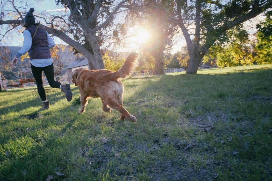 Золотистый ретривер бежит за хозяйкой фото