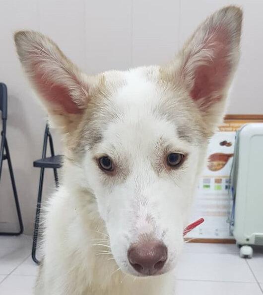 хаски, белый хаски, пес, пес хаски