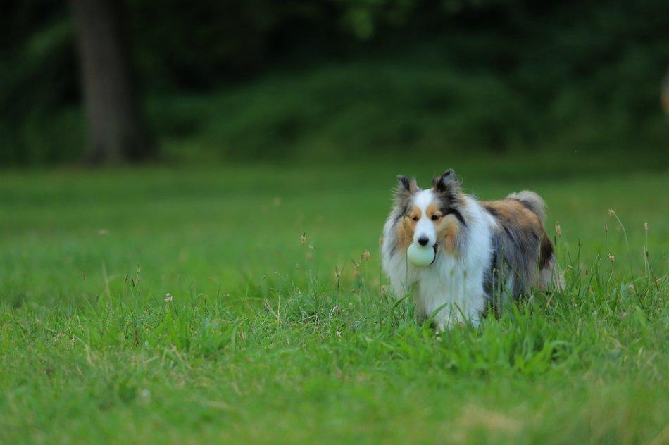 Собака идет по траве с мячиком фото