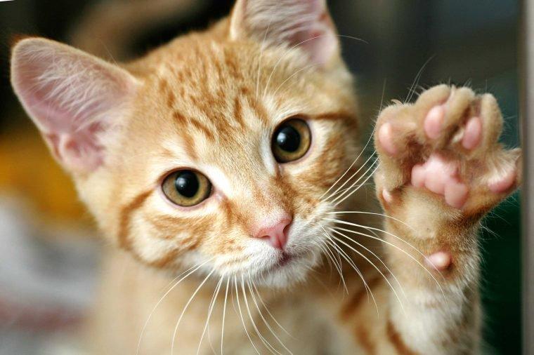 Рыжая кошка дает лапу фото