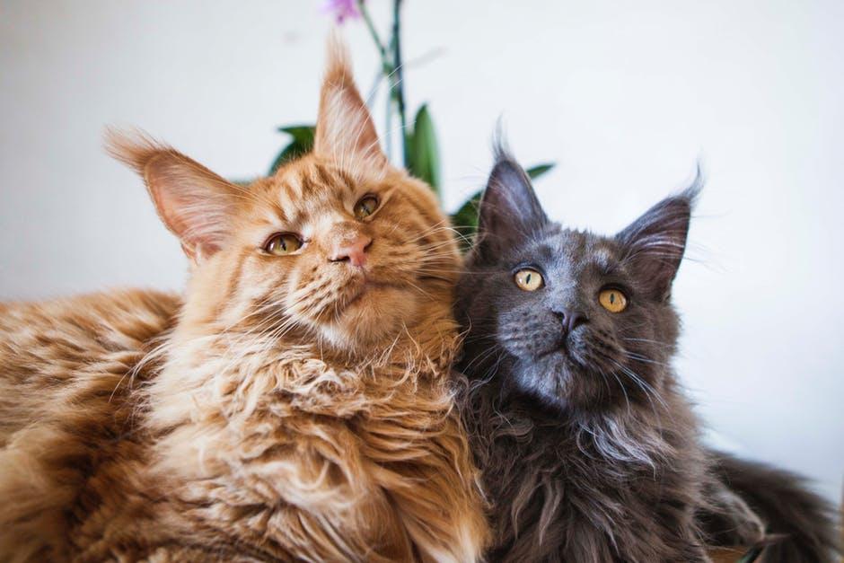 Рыжая и серая кошки породы мейн-кун фото