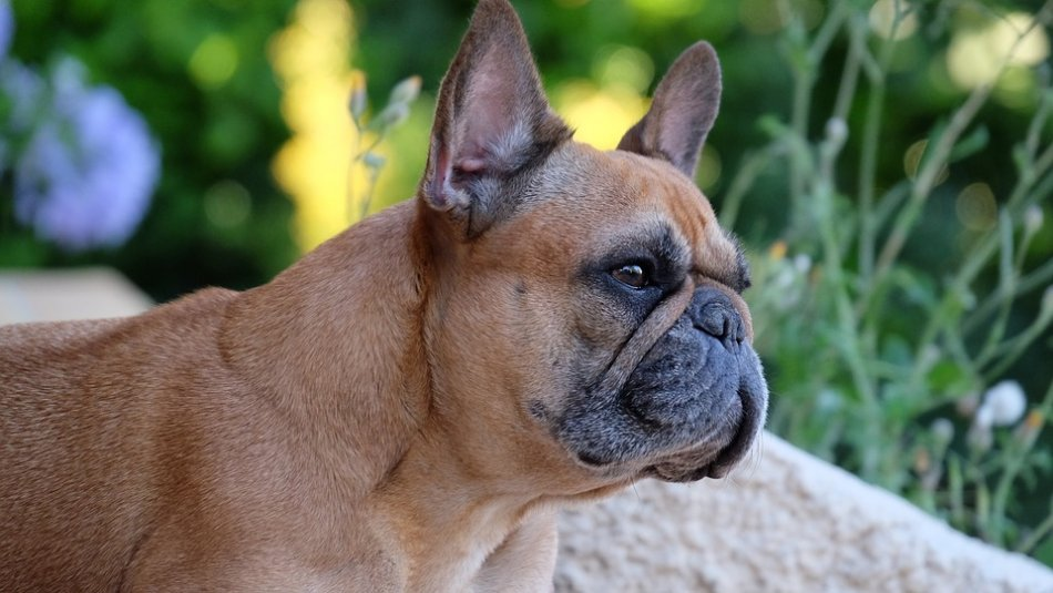 Французский бульдог брахицефал собака фото