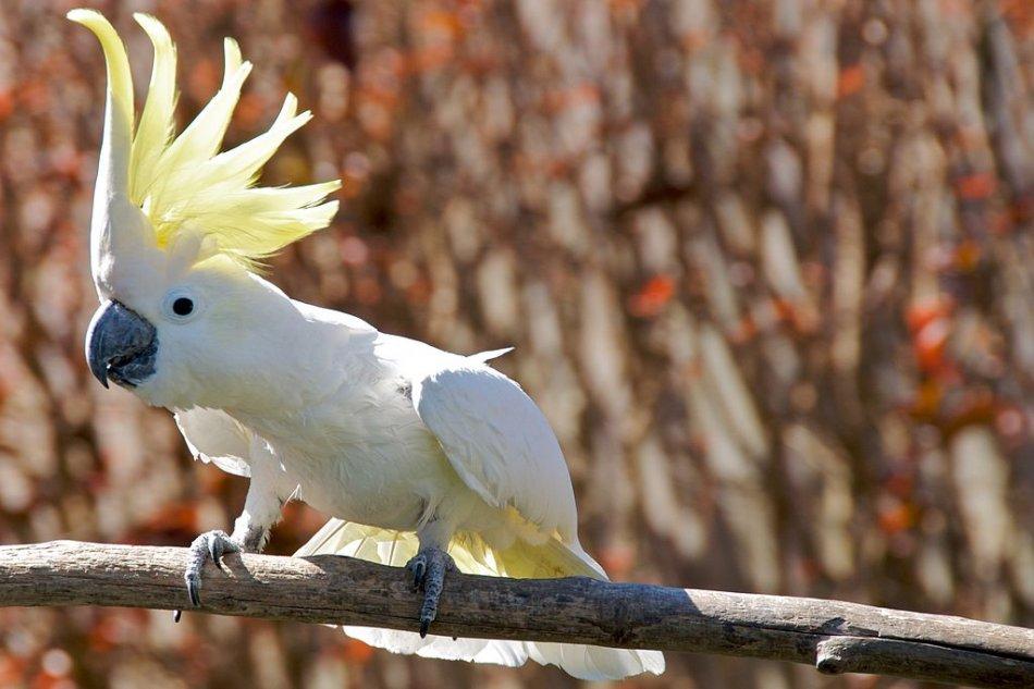 Большой желтохохлый попугай фото