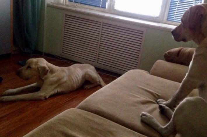 большой лабрадор, белый лабрадор, домашний питомец, большая собака, собаки