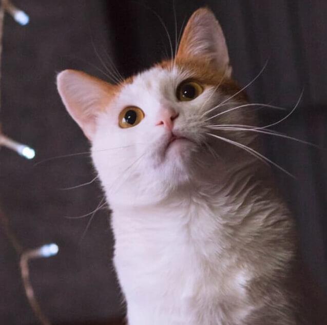 кот, домашний любимец, кошка, рыжая кошка
