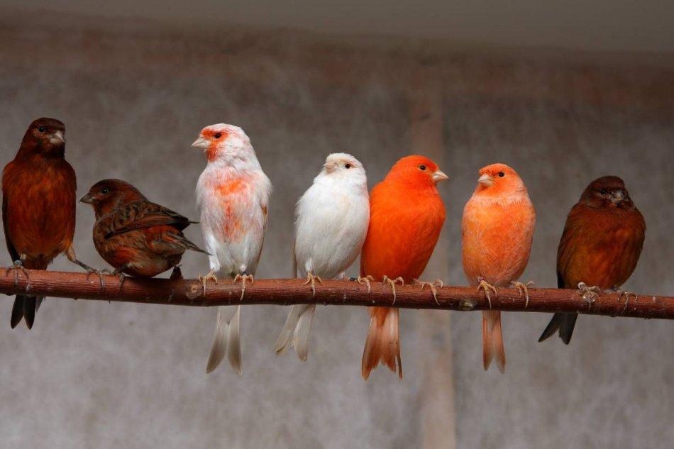 Цветные канарейки разных окрасов фото