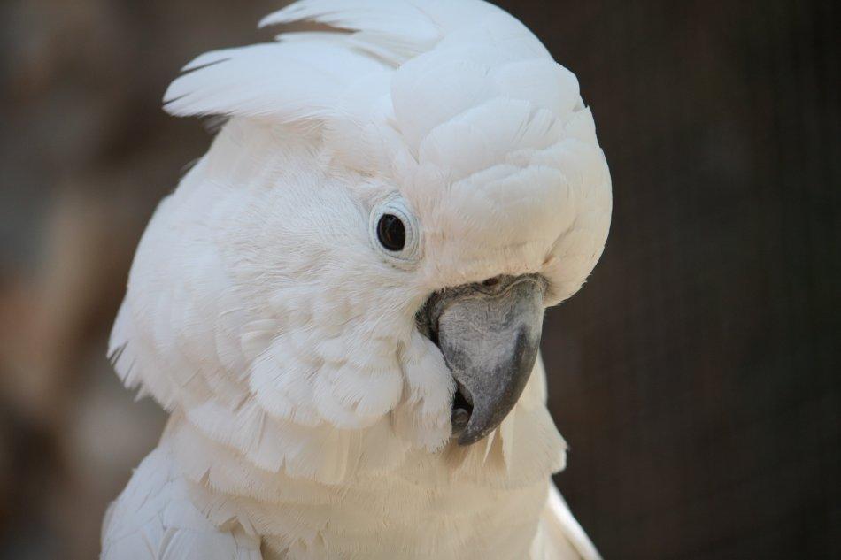 Большой белохохлый какаду портрет фото