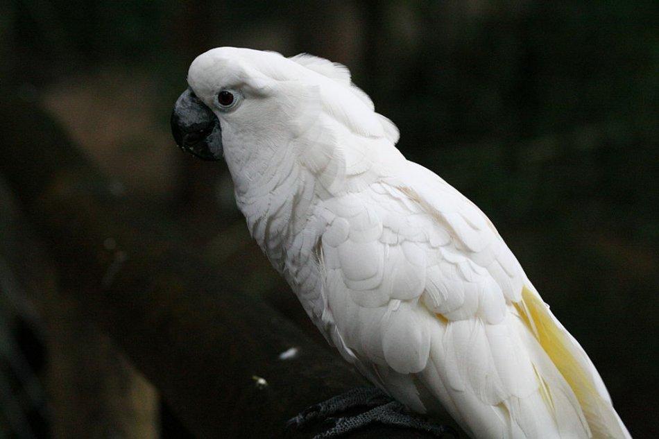 Большой белохохлый какаду на ветке фото