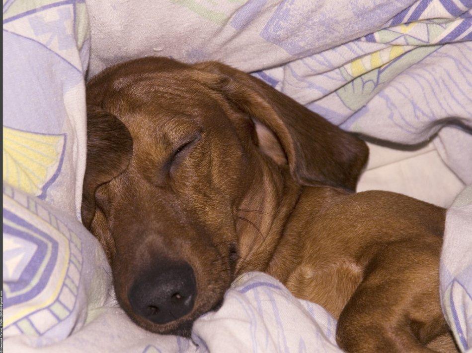 Рыжая такса спит на постели фото
