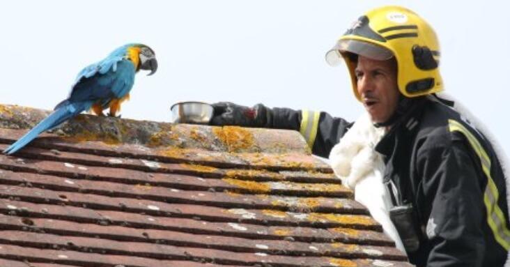 ара, попугай ара, попугай на крыше, пожарный, спасатель