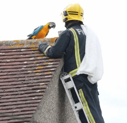 ара, ара на крыше, желтый ара, голубой ара, спасатель, пожарный