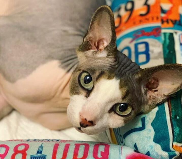 лысая кошка, лысый кот, сфинкс, домашний питомец