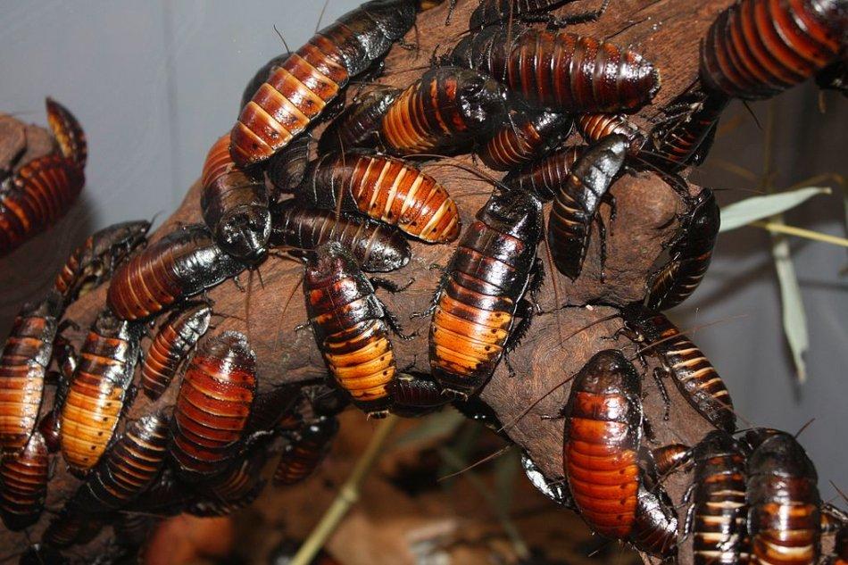 Мадагаскарские шипящие тараканы фото