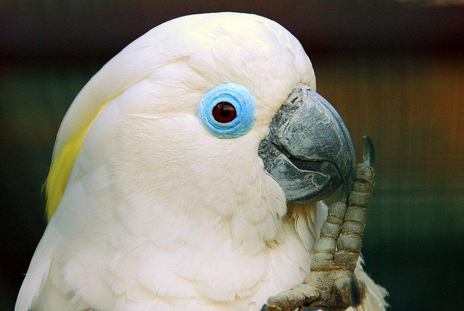Очковый какаду попугай фото