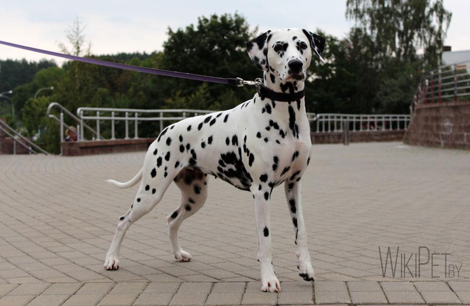 Собака породы далматин фото
