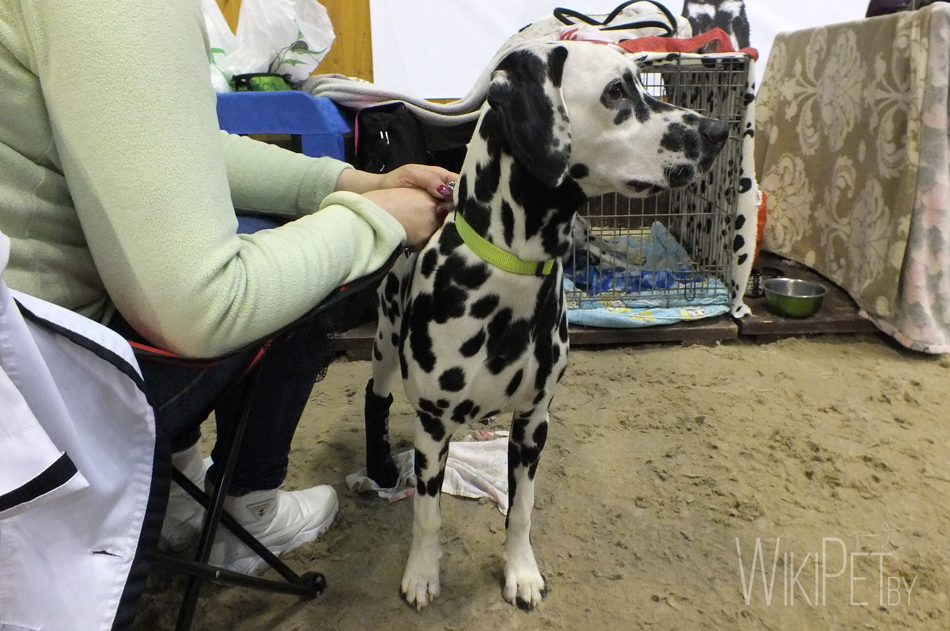 Далматин собака фото
