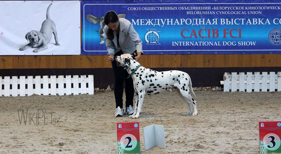 Собака породы далматин на выставке фото