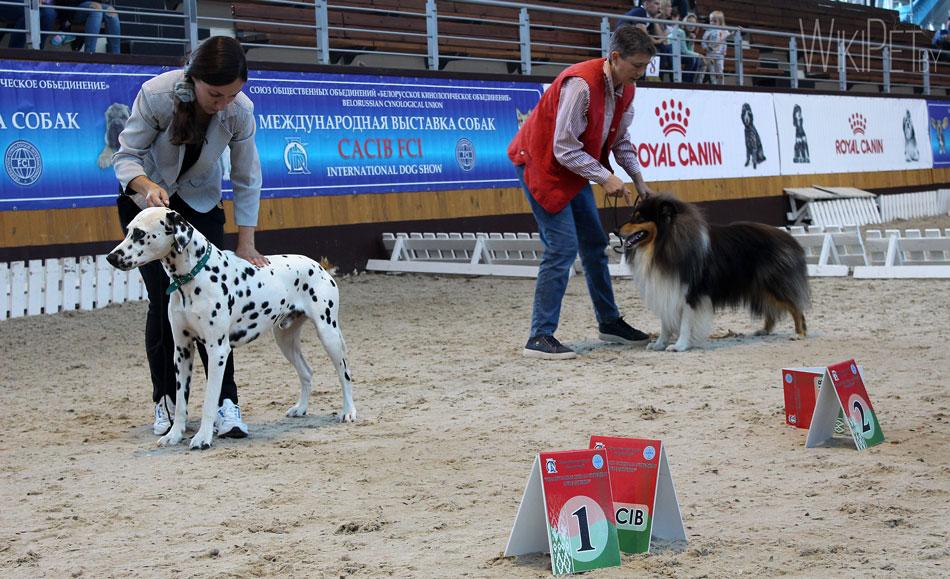 Далматин на выставке собак фото