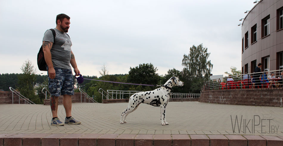 Далматин на поводке с хозяином фото