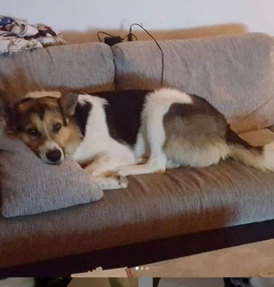 питомец, собака, дом, диван
