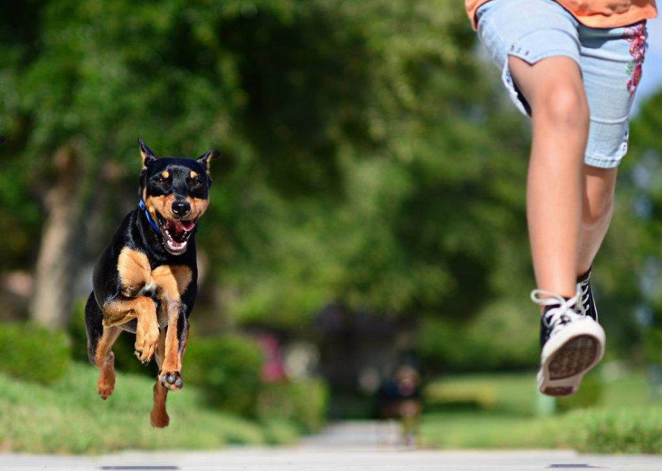 Собака преследует бегущего человека фото