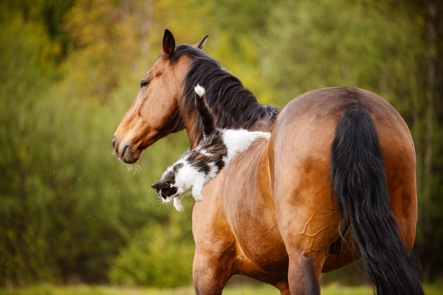Черно-белая кошка прыгает со спины гнедой лошади фото