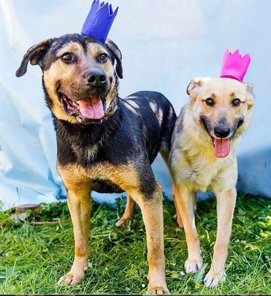собаки, дворняжки, короны, улица