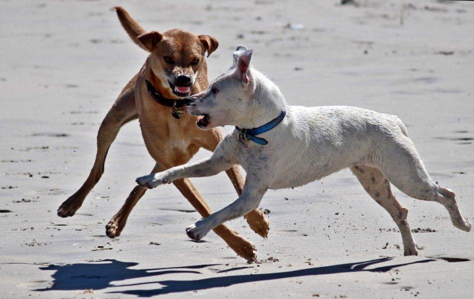 Доминирование у собак фото