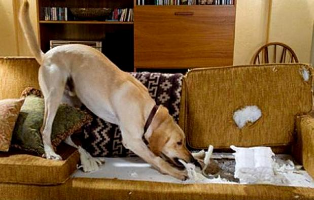 Лабрадор грызет диван фото