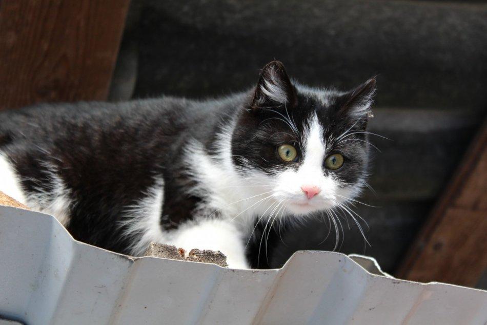 Любопытная черно-белая кошка на крыше фото
