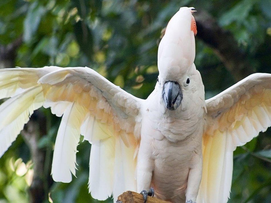 Молуккский какаду с расправленными крыльями фото