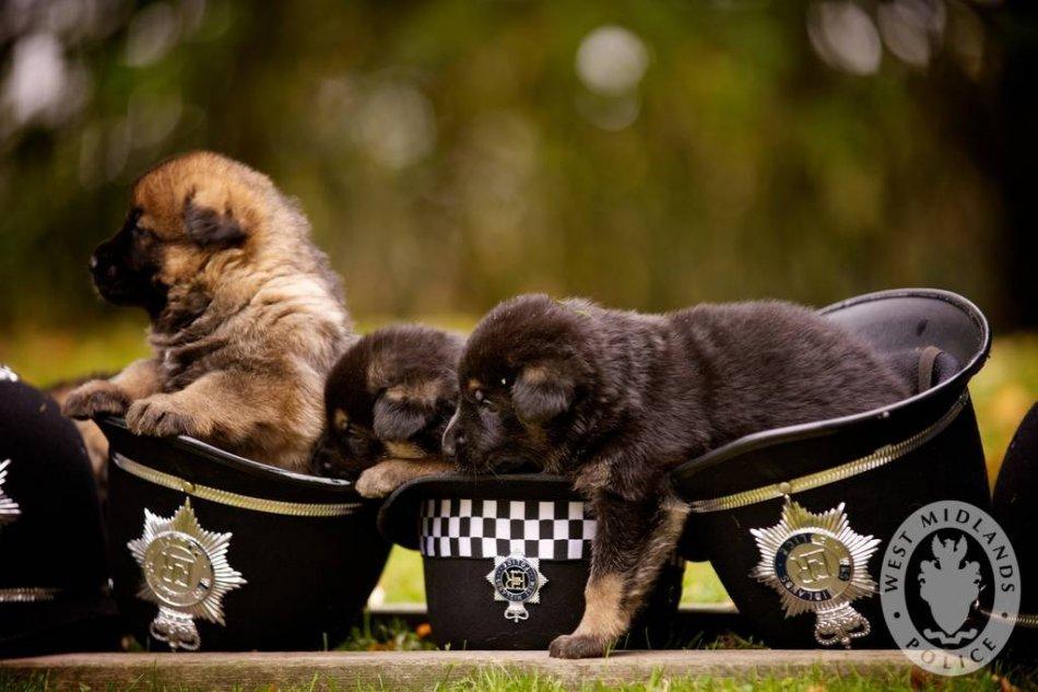 Щенки немецкой овчарки в полицейских фуражках фото