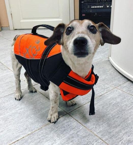 собака, джек-рассел, пловец, костюм