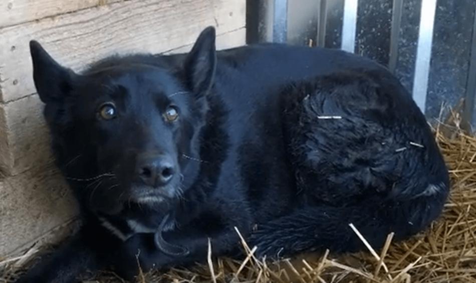 собака, пес, приют, сено, домашний питомец