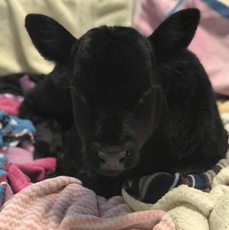 бык, одеяло, кровать, приют, теленок, корова