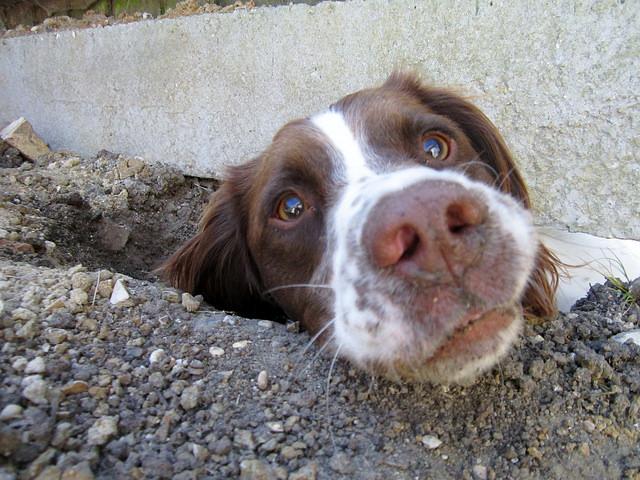 Собака сделала подкоп под забор фото