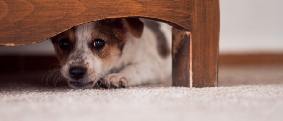 Испуганная собака прячется фото