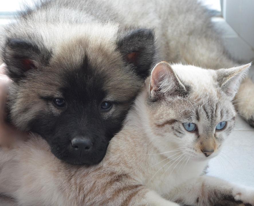 Грустный кеесхонд и кошка с голубыми глазами фото