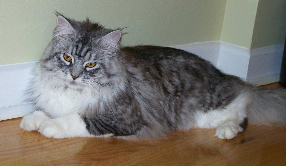 Мейн-кун серо-полосатый лежит на полу кот кошка фото