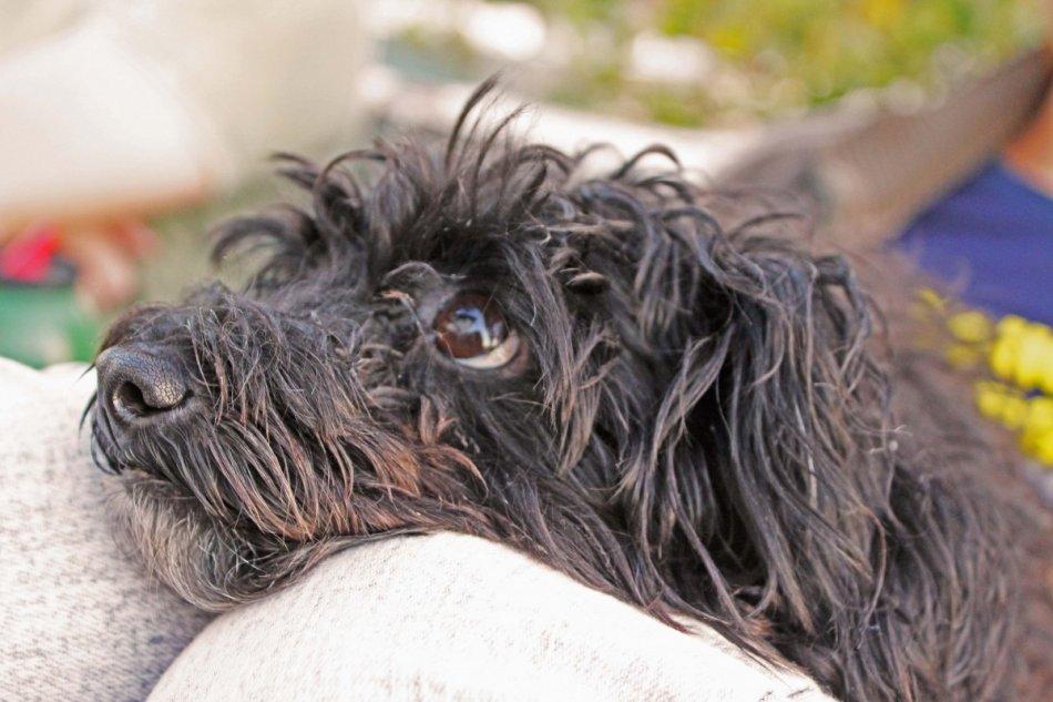 Собака черная лохматая смотрит на человека фото