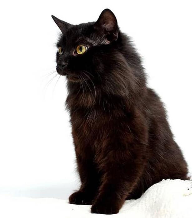 кот, кошка, черный кот, домашний питомец
