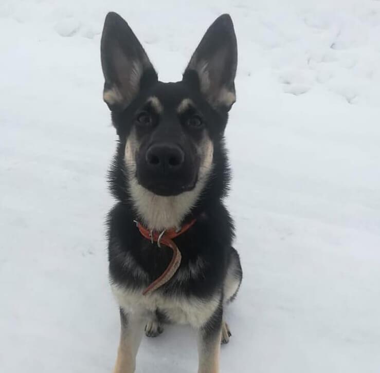 овчарка, пес, собака, снег, зима