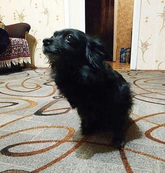 пес, дом, пол, ковер, домашнее животное