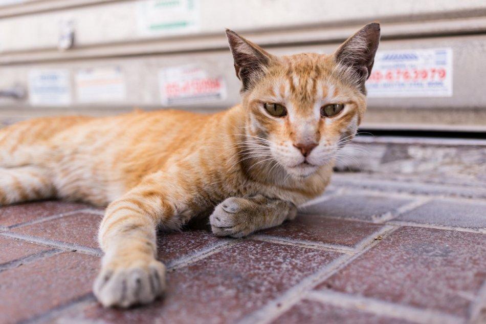 Кошка породы оцикэт лежит на полу фото