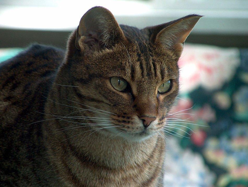 Кошка породы оцикэт фото