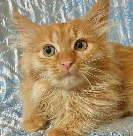 домашнее животное, кошка, дом, диван